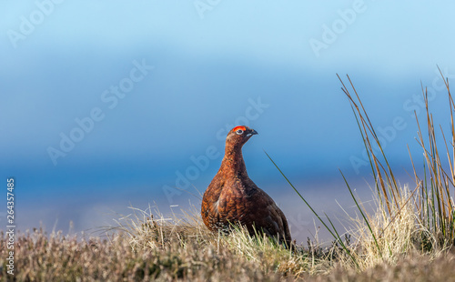 Obraz na plátně Red Grouse male (Lagopus lagopus) in early Spring on Grouse moor with bright red eye comb