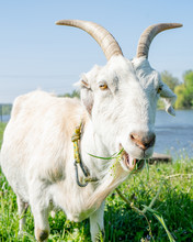 Close Up Shot Of Goat With Bunch Of Green Lush Grass On Summer Meadow Beside River