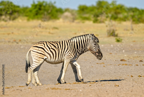 Spoed Foto op Canvas Zebra Plains Zebra - Equus quagga, large popular horse like animal from African savannas, Etosha National Park, Namibia