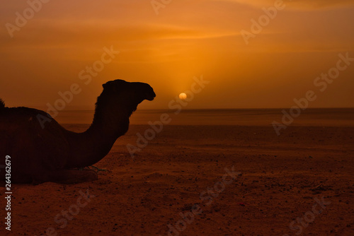 Valokuva  Camel in the distance in the desert at sunset