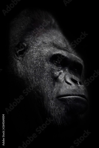 Fototapeta  The brutal muzzle (face) of a powerful and strong male gorilla is a symbol of masculinity and wildness