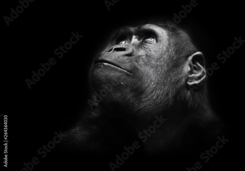 Photo sur Aluminium Singe Serious big monkey look. An adult female gorilla with a serious expression smiles sideways, close-up, Isolated black background