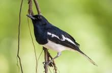 Closeup Male Oriental Magpie R...