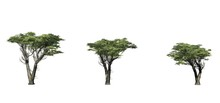 Set Of Monterey Cypress Trees - Isolated On A White Background