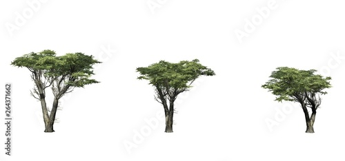 Set of Monterey Cypress trees - isolated on a white background Canvas