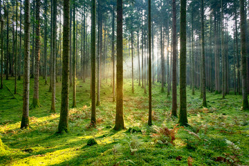 Beautiful golden sunlight in morning mossy forest tree landscape.
