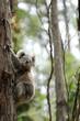 Freilebender Koala in Australien