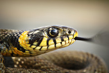 Portrait Of A Grass Snake