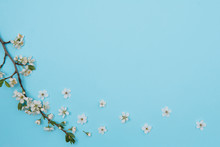 Photo Of Spring White Cherry Blossom Tree On Blue Background. View From Above, Flat Lay, Copy Space. Spring And Summer Background. Cherry Blossom On A Blue Background