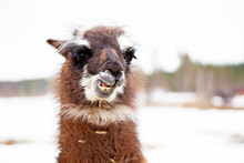 Llama Baby In Winter Chewing W...