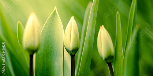 Spoed Foto op Canvas Tulp Green young tulips grow in the spring garden