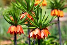 Crown Imperial Flower (Fritill...