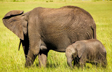 Adult African Elephant (Loxodonta Africana) With Baby Elephant Grazing In The African Savannah. Landscape Of Africa