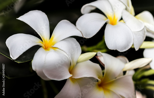 Wall Murals Plumeria Plumeria white flowers the beautiful. close up