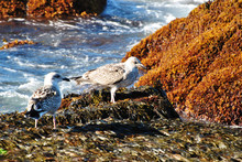 Seagull On A Beatiful Rocky Sh...