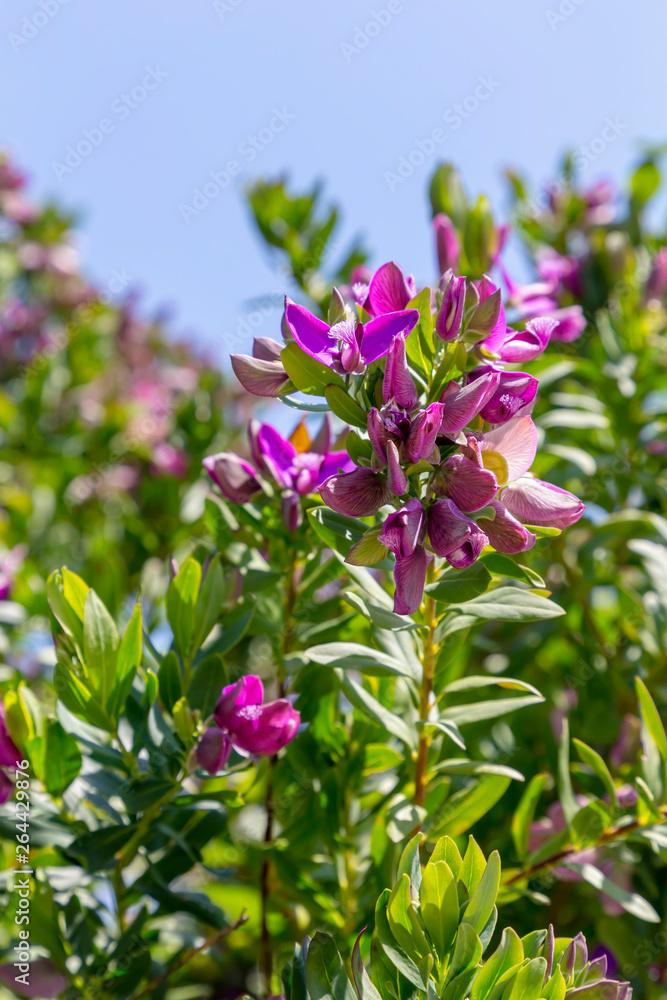 Ornamental plant (Polygala myrtifolia) with purple flowers grows in the garden