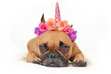 Cute Brown French Bulldog Dog ...