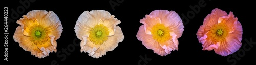 Floral fine art still life detailed colorful macro of a collection of four isolated satin/silk poppy wide opened blossoms isolated on black background with detailed texture - 264448223