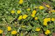 Löwenzahn im Frühling auf der Wiese, Taraxacum officinale