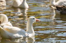 Several White Ducks Swimming O...