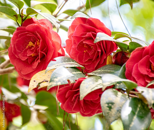 A red rose bush in full bloom