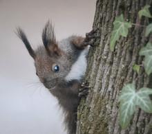 Neugieriger Eichhörnchennachw...