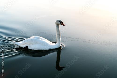 Poster Cygne white swan on a lake