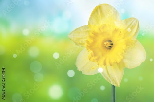 Photographie  Daffodil.