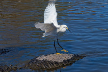 Great Egret Hitching A Ride On...