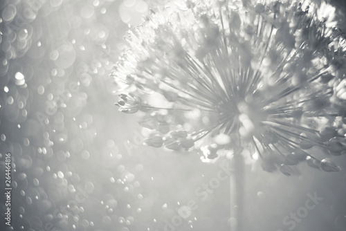 alium flower withBlack and white floral delicate blurred bokeh background. Garden flowers on sunlight, soft focus.