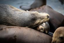 Mom And Baby Sleeping Sea Lion