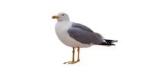 Sea Gull Bird Isolated On White Background