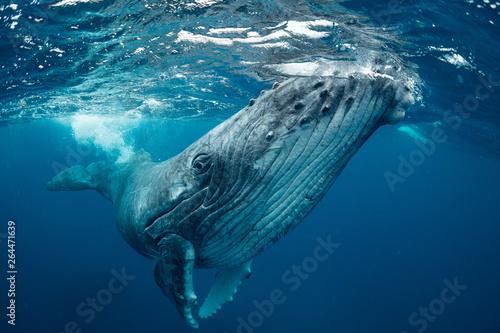 Photo  クジラ whale TONGA