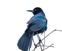 Boat-tailed Grackle On A Branch