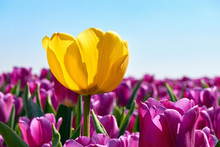 Individuality, Difference And Leadership Concept. Stand Out From The Crowd. A Single Yellow Tulip In A Field With Many Purple Tulips Against A Blue Sky In Springtime In The Netherlands