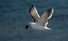 Seagull Flying And Working To ...