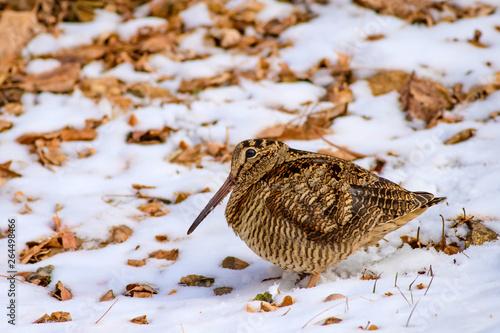 Vászonkép  Camouflage bird woodcock