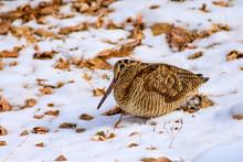 Camouflage Bird Woodcock. Wint...