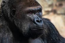 Male Western Gorilla Looking Around, Gorilla Gorilla Gorilla