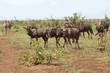 Streifengnu / Blue Wildebeest / Connochaetes taurinus..