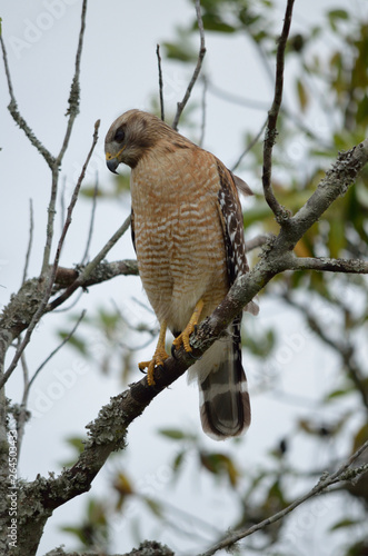 Photo  red tailed hawk perched in tree