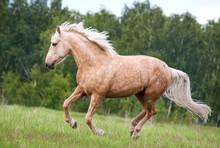 Free Palomino Horse Runs In Th...