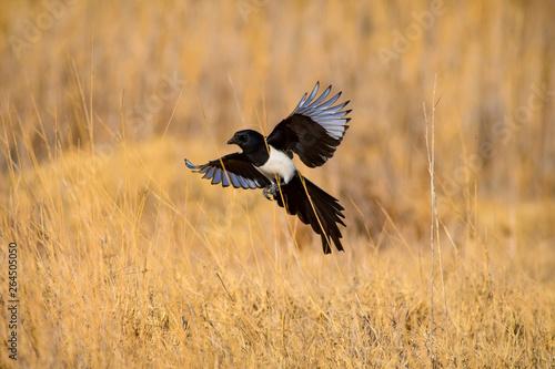 Fotografia Flying crow