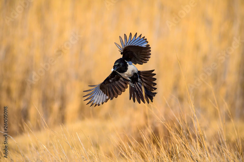 Stampa su Tela Flying crow