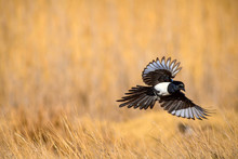 Flying Crow. Yellow Nature Background. Bird: Eurasian Magpie. Pica Pica.