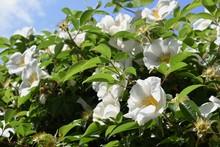 Cherokee Rose (Rosa Laevigata)