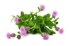Burdock Flowers Isolated On A ...