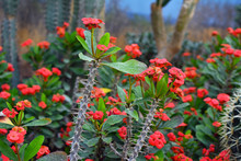 Exotic Euphorbia Milii Crown Of Thorns Succulent Plant With Long Spiked Stem And Red Blooming Flowers