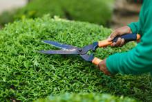 Gardener's Hands With Scissors, Shear Bush