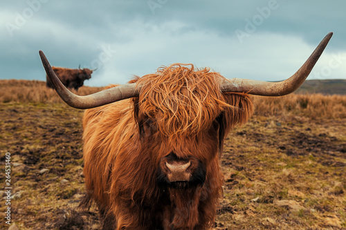 Fototapeta Scottish Hairy Cow obraz